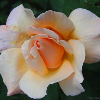 Роза :: Таня Землянухина