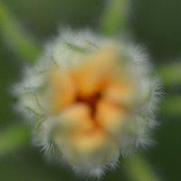 Цветок цукинии 2 :: Olga Veisman