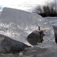 Жизнь пробивается через лед :: Николай Кононцев