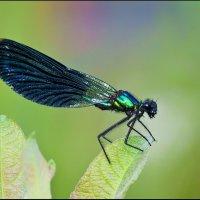 Красотка-девушка (Calopteryx virgo) :: Spaniot .