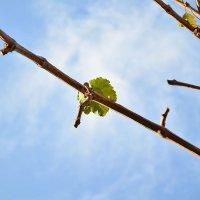 Лист винограда :: Денис Финягин