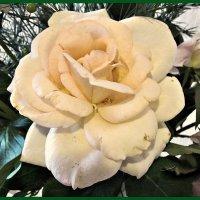 роза белая :: Надежда