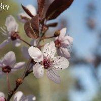 цветущая вишня :: Андрей Дрожжин