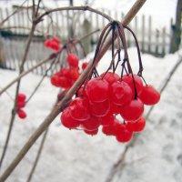 Зимняя калина :: Olga Volkova