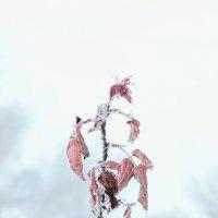Зимняя роза :: Юрий Гайворонский