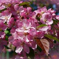 Весеннее цветение... :: Наталия Короткова