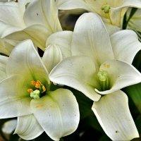 Белые лилии :: Наталия Короткова