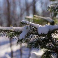 Ель в снегу :: Виталий Пылаев