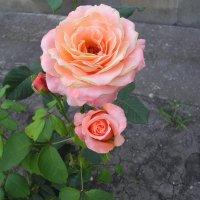 Роза. :: Олег Афанасьевич Сергеев