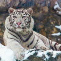 Белый тигр :: Дмитрий Сушкин