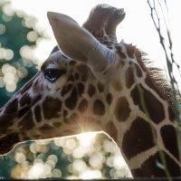 Жираф на закате :: Тарас Леонидов