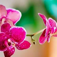 Архидея :: Наталия Живаева