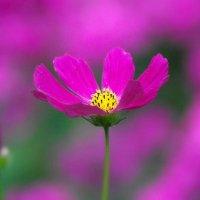 Цветок моего сада! :: Владимир Шошин