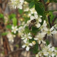 Пчелка :: Gu Safina