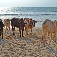 Индия. Море и священные коровы :: Владимир Шибинский