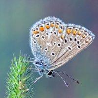 Голубянка бурая (Aricia artaxerxes) :: Spaniot .