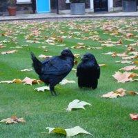 Тауэрские вороны :: svk