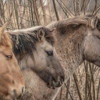 Норвежские лошадки :: Lidija Abeltinja