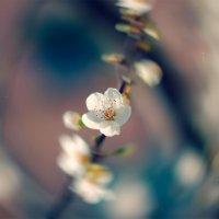 bahar çiçekleri :: Selman Şentürk