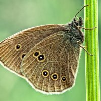 Глазок цветочный (Aphantopus hyperantus) :: Spaniot .