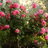 садовая роза :: Ильгам Кильдеев