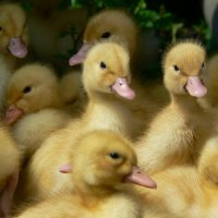 Сердитые птички :: Алла Рыженко