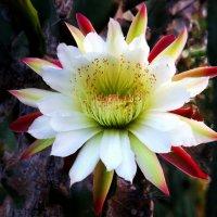 Цветок кактуса ( Парк Яркон ТелАвив) :: Владимир Сарычев