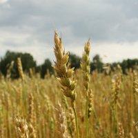 Колосится поле золотое :: Екатерина Марфута