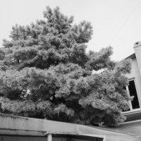 Зимняя красавица :: Евгения Пикановская