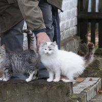 Кошки :: Андрей Студеникин