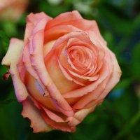 Розовый цвет :: Andy Bayt