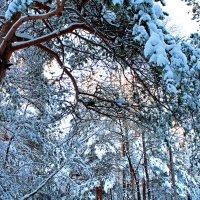 Снежное сияние леса :: Владимир Шибинский