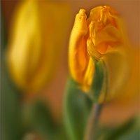 Тюльпановое изумление... :: Наталия M