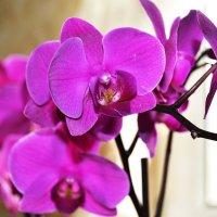Орхидея :: Natalya Novomlinskaya
