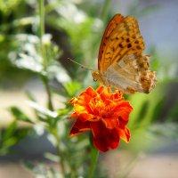 Просто бабочка :: Анисимов Сергей