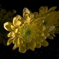 цветок хризантемы :: Наталья Крюкова