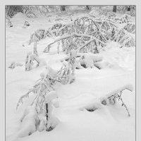 Под снегом :: Сергей Тарабара