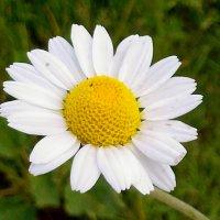 Когда тебе вдруг станет тяжко, обнимет белая ромашка, её улыбка ярче солнца, она стучит в твоёоконце :: Ольга Кривых