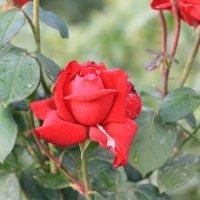розы :: Sergey Ogilko