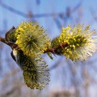 верба цветет :: gribushko грибушко Николай