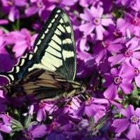 Бабочка :: Иван Кулев