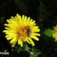 Лакомство для пчёлки :: Яна Чепик