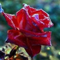 Роза :: Олег Садардинов