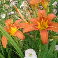Золотые лилии в саду :: Ольга Дувалкина