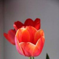 тюльпаны :: Sergey Ogilko