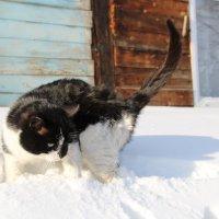 Кошка в снегу :: Евгения Пестерева