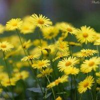 Желтизна цветов :: Виктор Мушкарин (thepaparazzo)