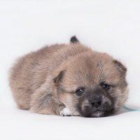 шиба-ину 1 месяц :: Екатерина Тележенко
