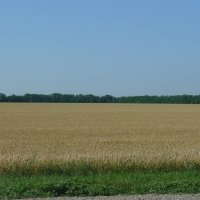 пшеничное поле :: Владимир