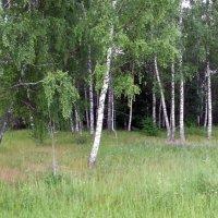 Березовый лес :: Анатолий Антонов